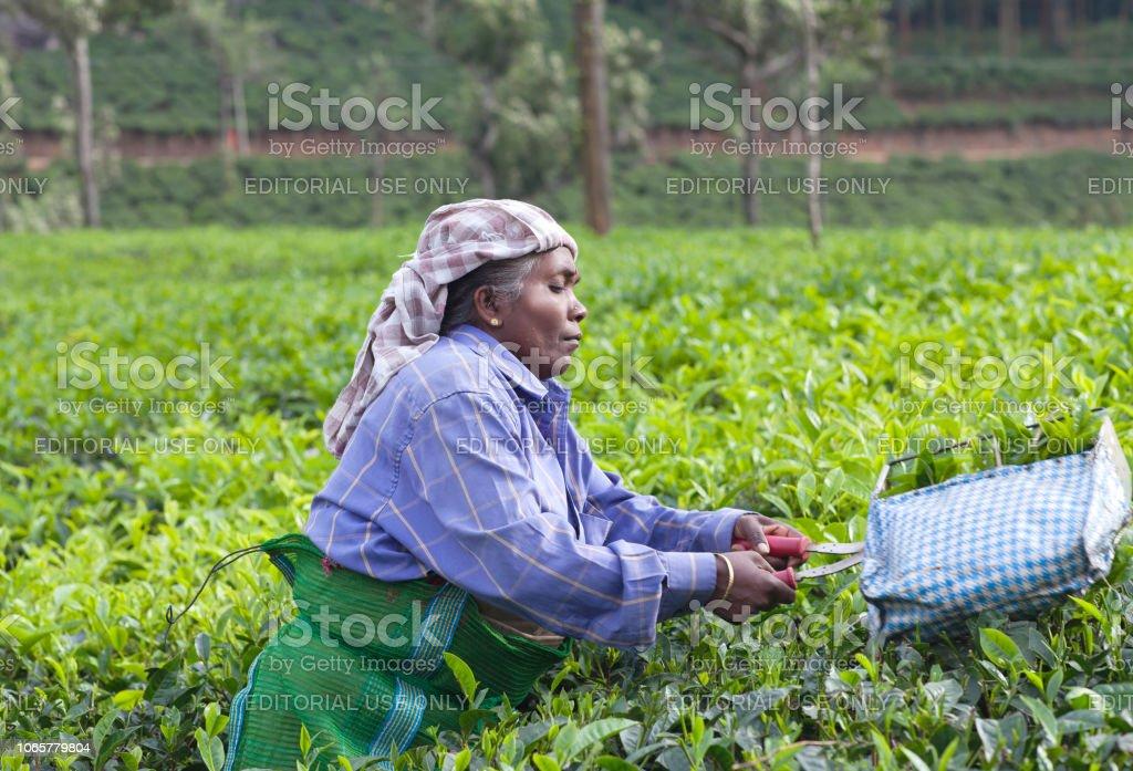 Tea picker woman, India stock photo