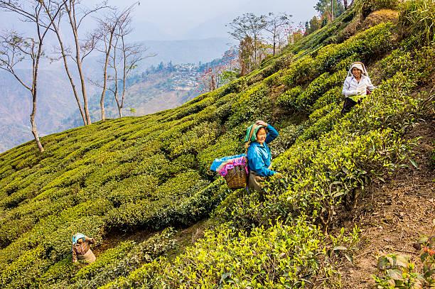 tee-musiker der darjeeling - darjeeling tee stock-fotos und bilder