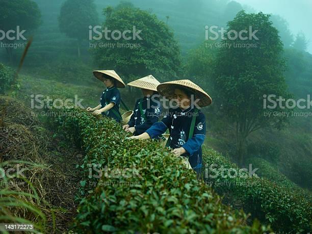 Tea pickers picture id143172273?b=1&k=6&m=143172273&s=612x612&h=qiebgfh73d2dxgvybhekpkfgcwhyjbnwvy gqenpytk=