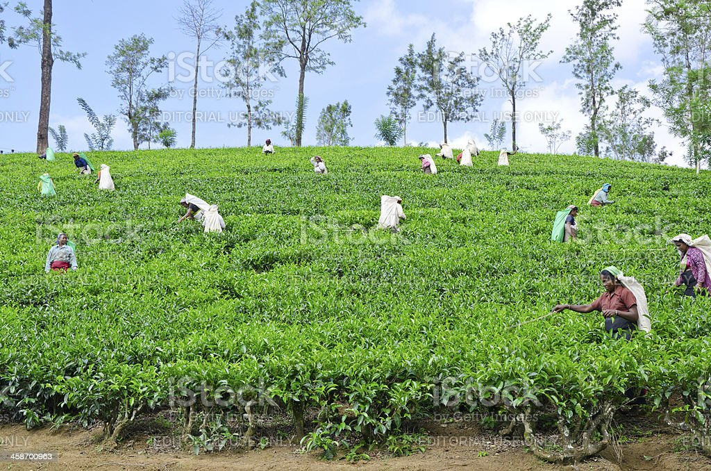 Tea pickers working on plantations royalty-free stock photo