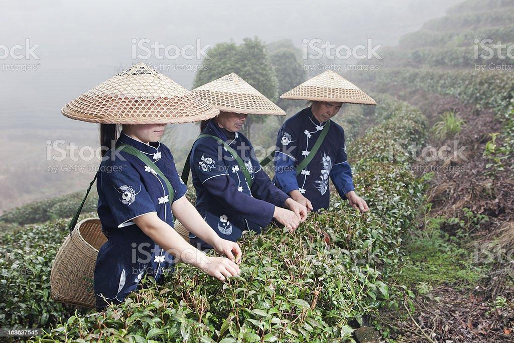 Tea Pickers, Yang Shuo, China royalty-free stock photo
