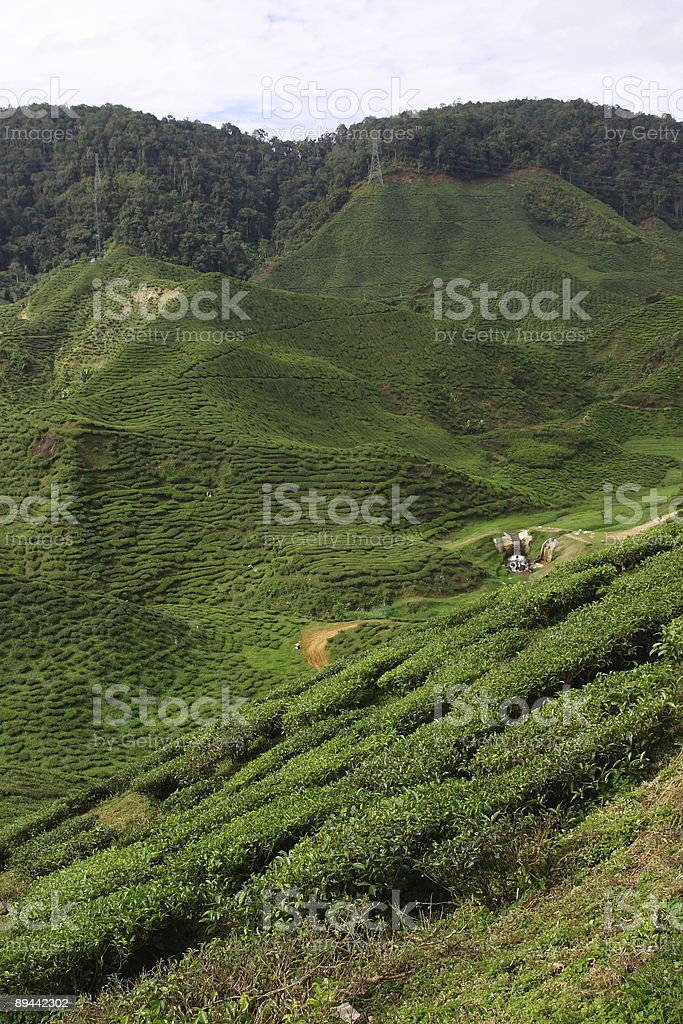 Plantation de thé de 3 photo libre de droits