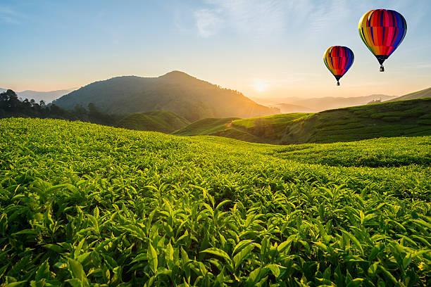 tea plantation at cameron highlands with hot air balloon - hot air balloon стоковые фото и изображения