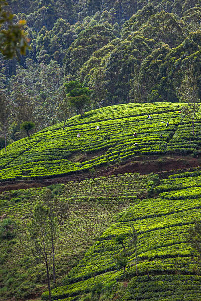 Tea plantation at Sri Lanka stock photo