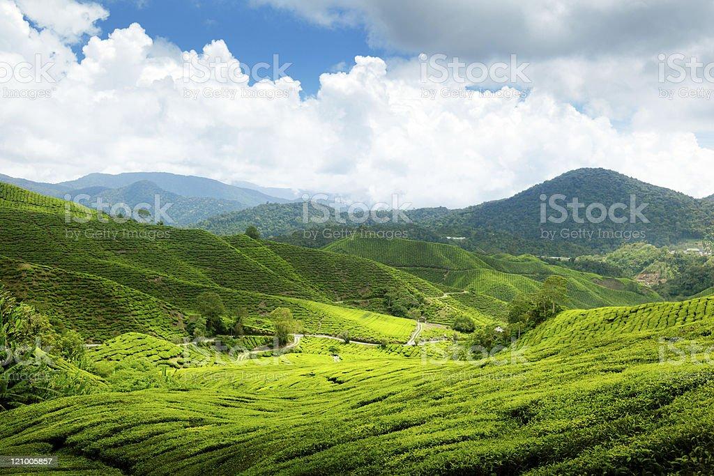 Tea plantation Cameron highlands, Malaysia royalty-free stock photo