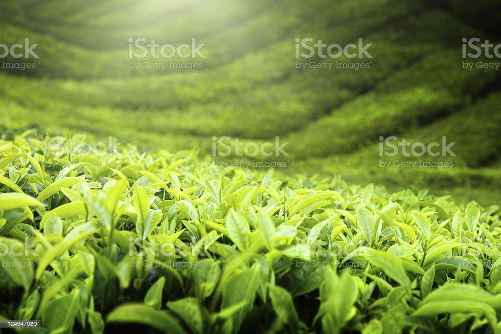 Teeplantage Cameron highlands, Malaysia Lizenzfreies stock-foto