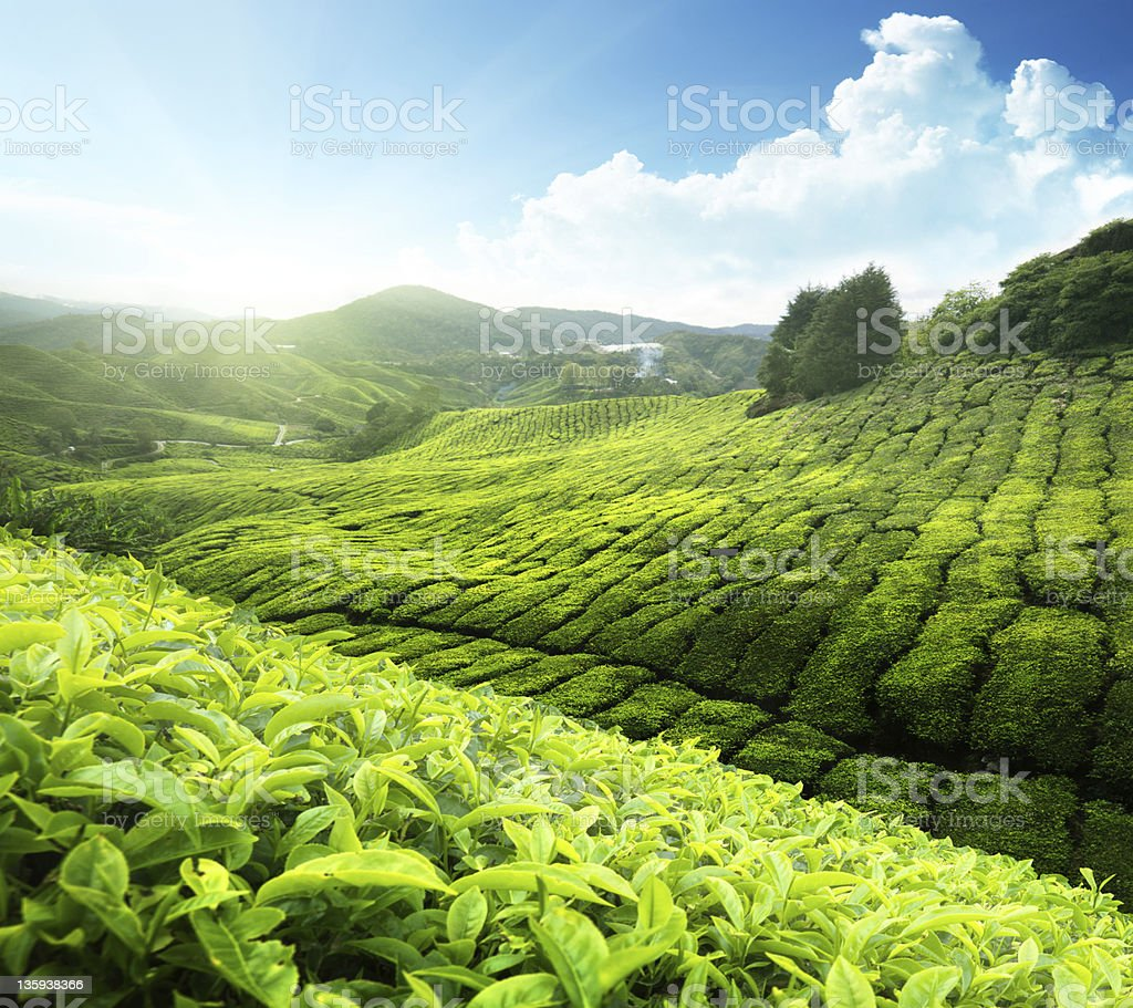 Tea plantation Cameron highlands, Malaysia royalty-free stock photo