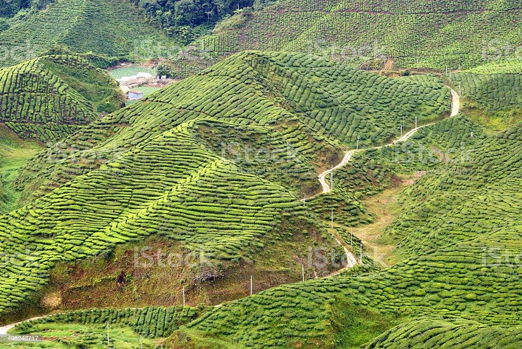 Tea plantation, Cameron Highlands, Malaysia stock photo