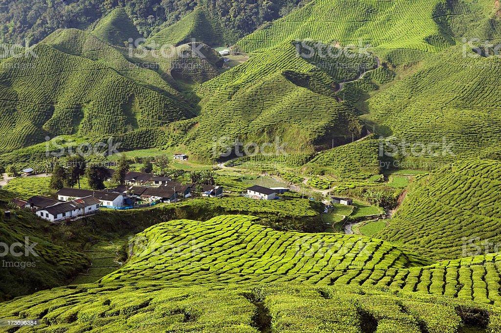 tea plantation cameron highlands pahang malaysia stock photo