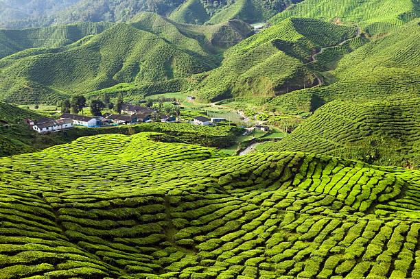 teeplantage cameron highlands pahang, malaysia - grüner tee koffein stock-fotos und bilder