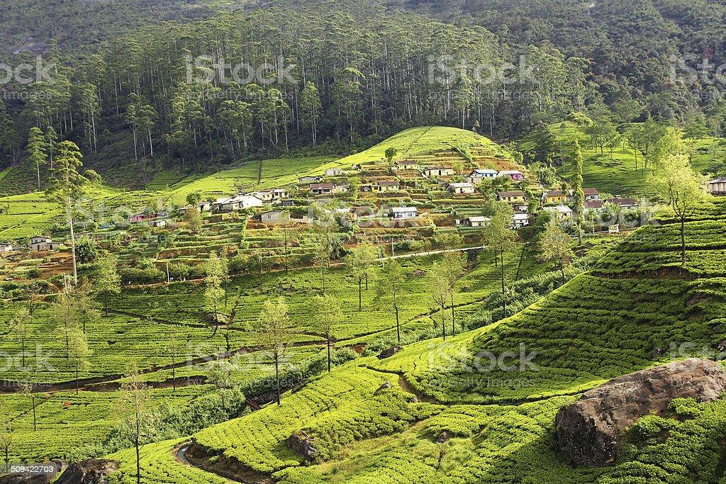 tea plantation countryside stock photo