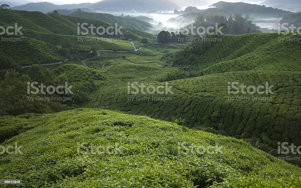 Tea plantation farm in the morning royalty-free stock photo
