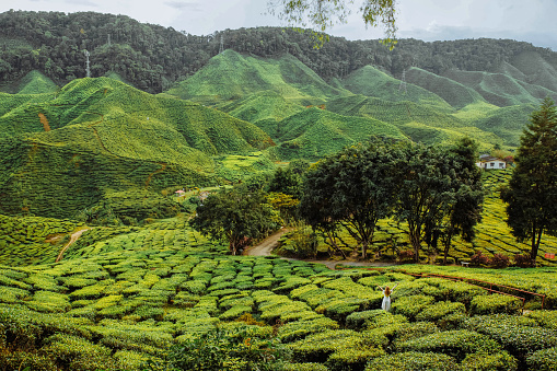 Tea plantation field on scenic hills with trees and houses in a valley on sunny day