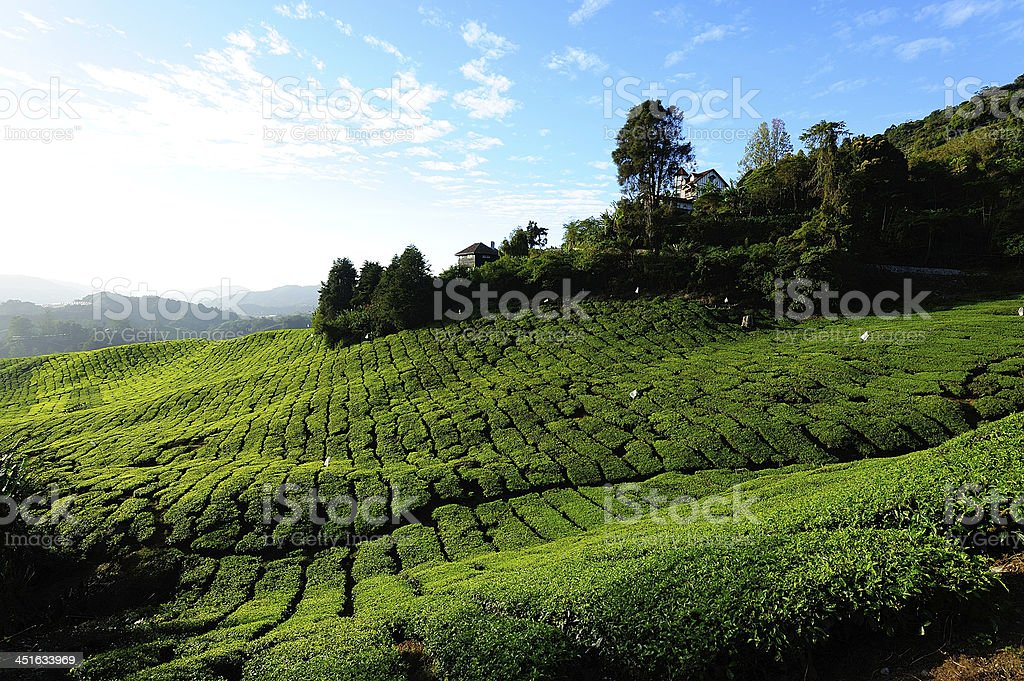 Tea Plantation Fields on the Hills stock photo