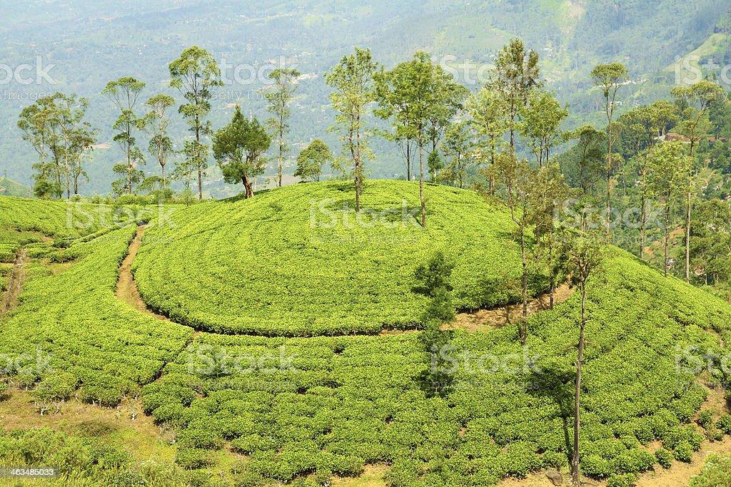 tea plantation hill royalty-free stock photo