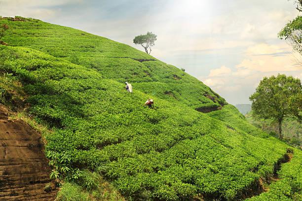 teeplantage hills - darjeeling tee stock-fotos und bilder