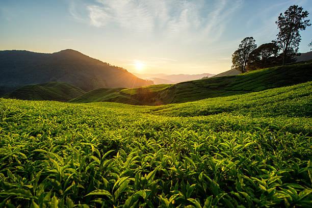 Teeplantage in Cameron highlands, Malaysia – Foto