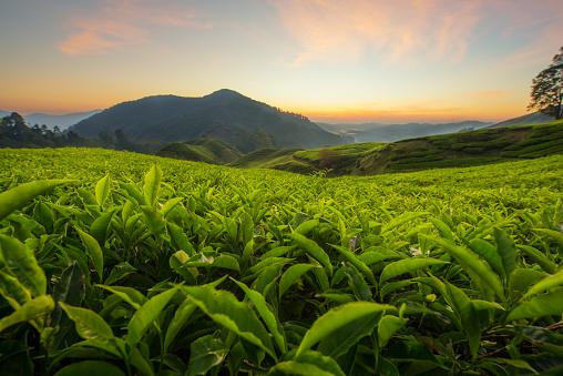 istock Tea plantation in Cameron highlands, Malaysia 516987718