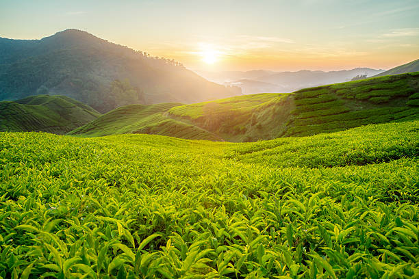 Tea plantation in Cameron highlands, Malaysia Tea plantation in Cameron highlands, Malaysia tea crop stock pictures, royalty-free photos & images