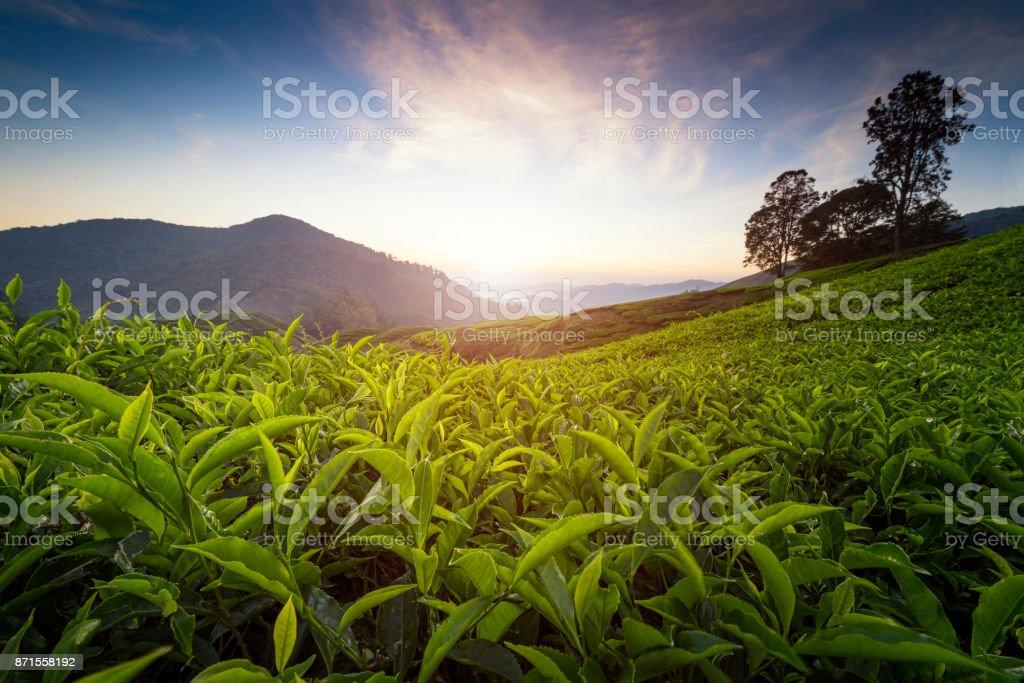 Tea plantation in Cameron highlands stock photo
