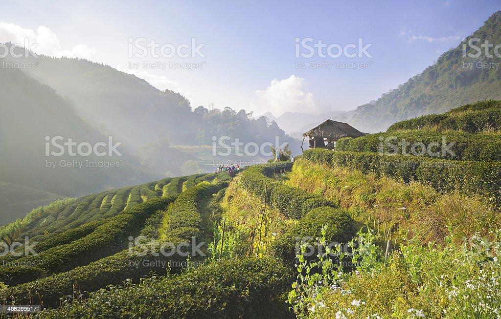 Tea plantation in Doi Ang Khang, Chiang Mai, Thailand stock photo