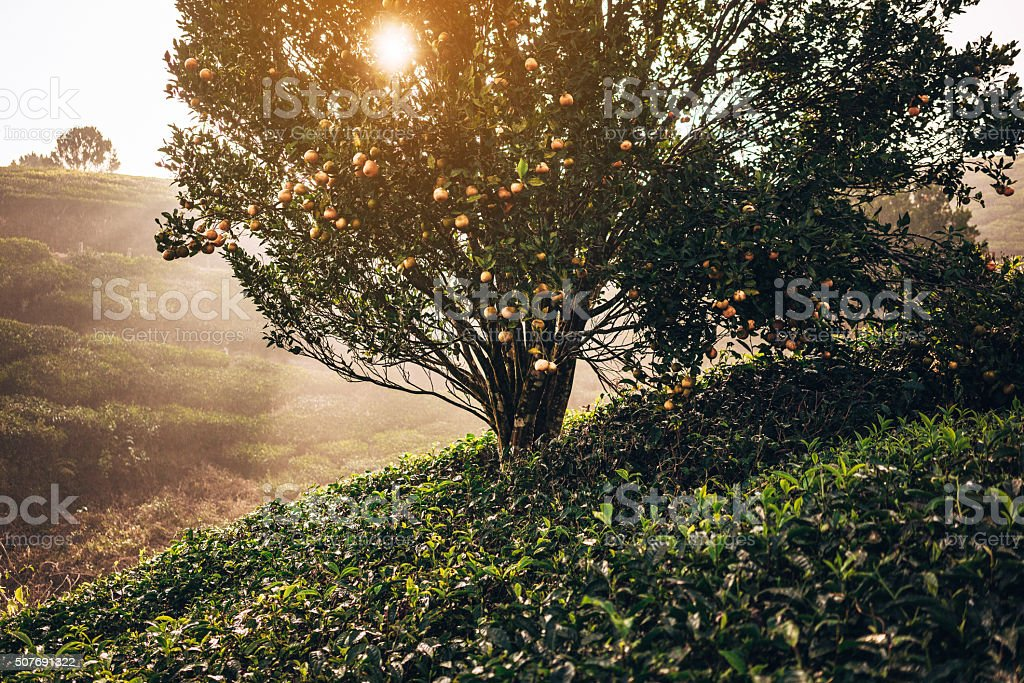 Piantagione di tè in India - foto stock