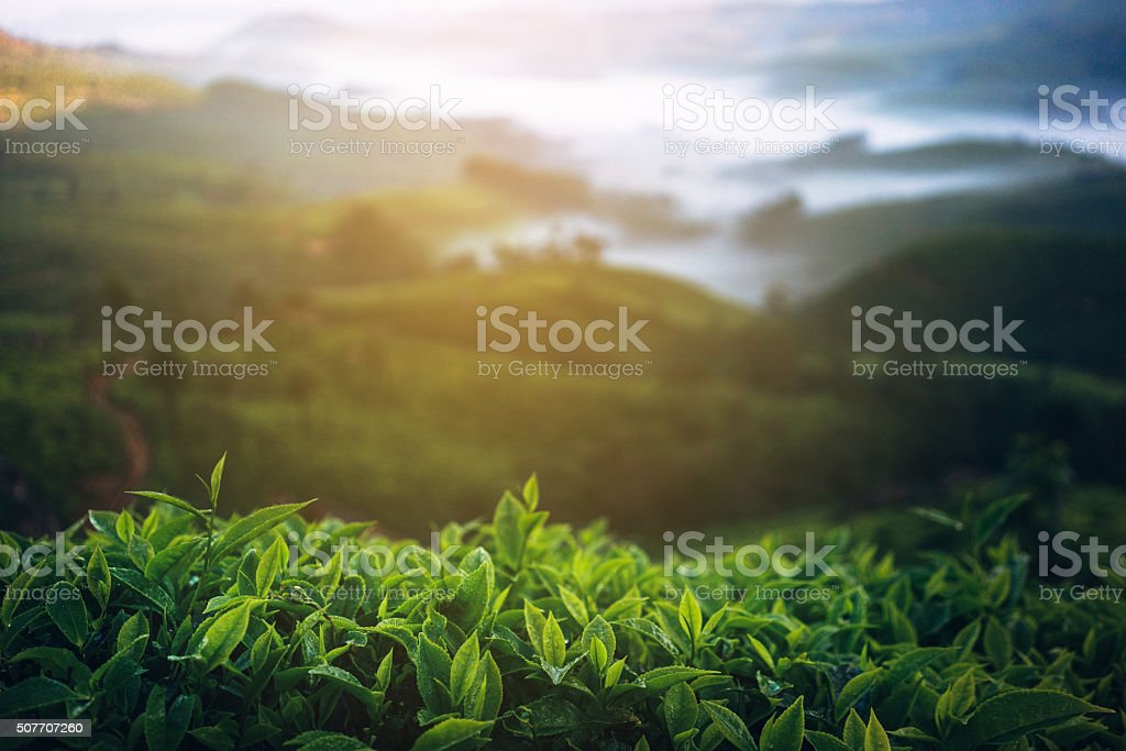 Tea plantation in India stock photo