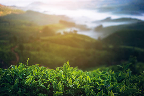 Tea plantation in India Tea plantation in Munnar, India  tea crop stock pictures, royalty-free photos & images