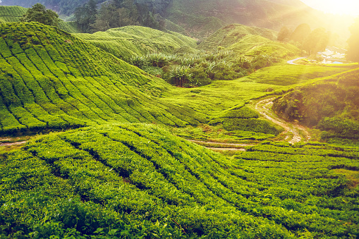 Tea Plantation In Malaysia Stock Photo - Download Image ...