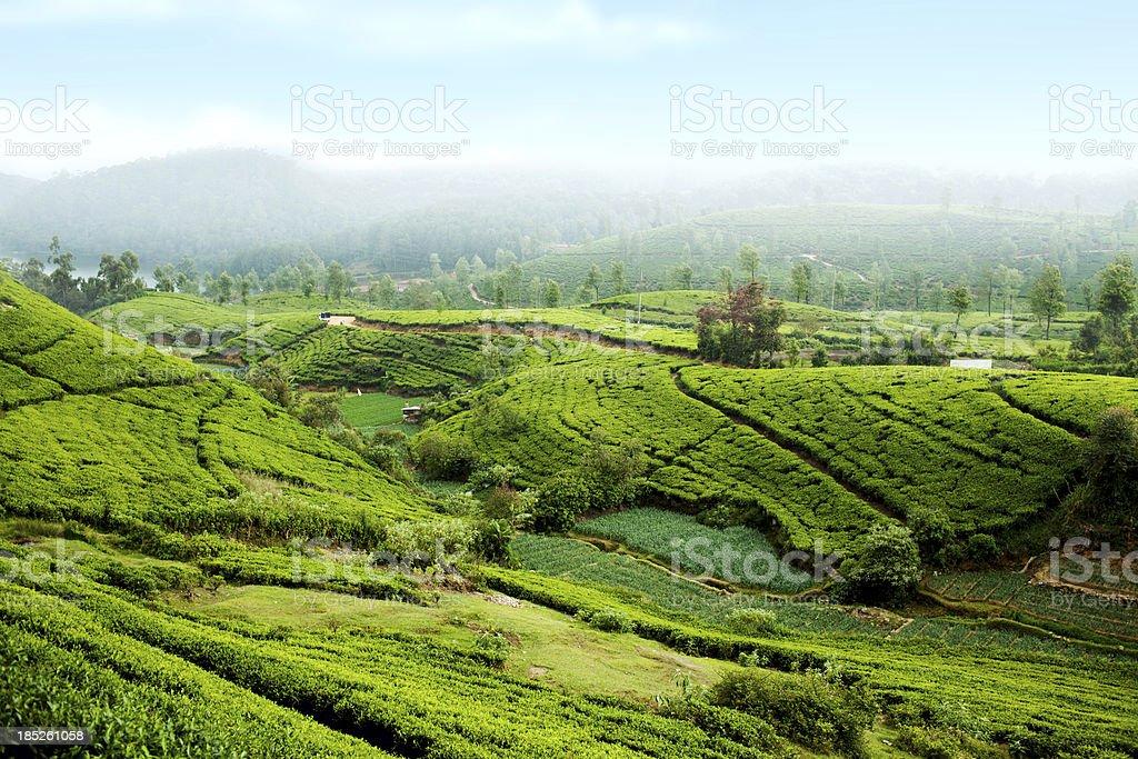 Teeplantage auf Sri Lanka – Foto