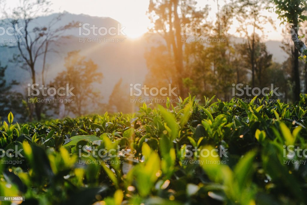 Tea plantation in Sri Lanka stock photo