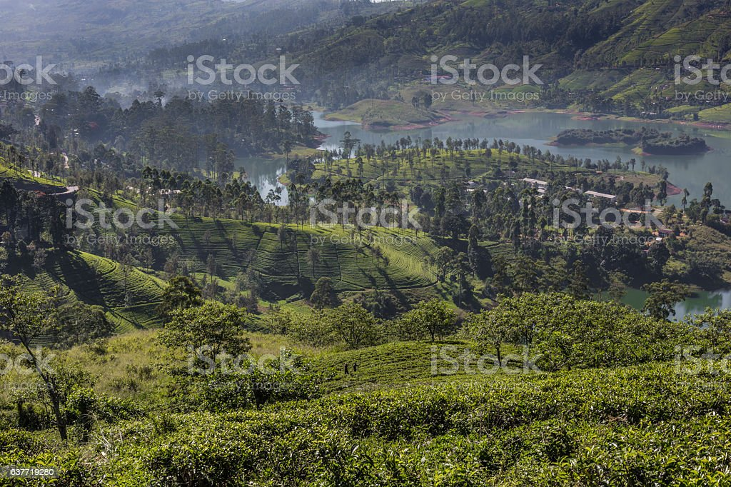 Tea plantation in sunset time. Nature background stock photo