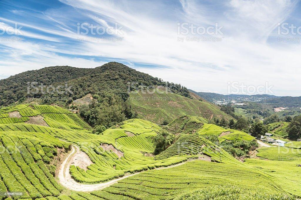 Tea plantation in the Cameron Highlands stock photo