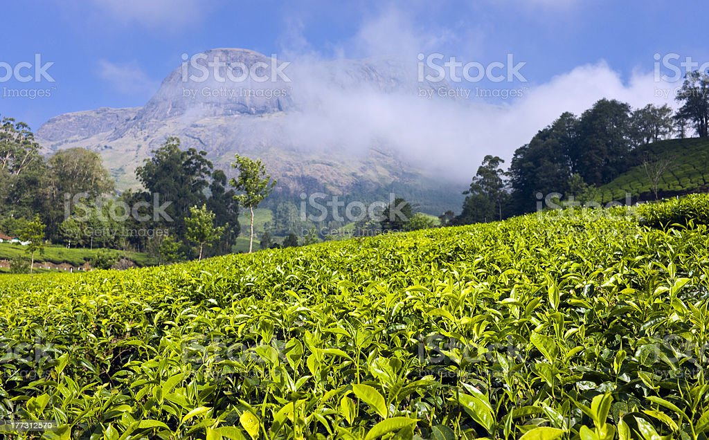 Tea plantation, Kannan Devan Hills, Munnar, Kerala, India royalty-free stock photo