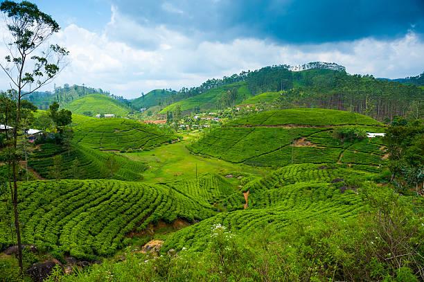 Tea plantation landscape stock photo