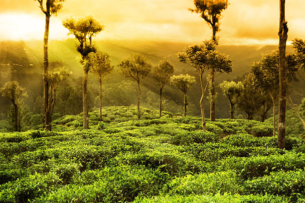 teeplantage landschaft - darjeeling tee stock-fotos und bilder