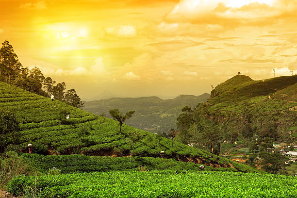 tea plantation landscape sunset - kenya stock photos and pictures