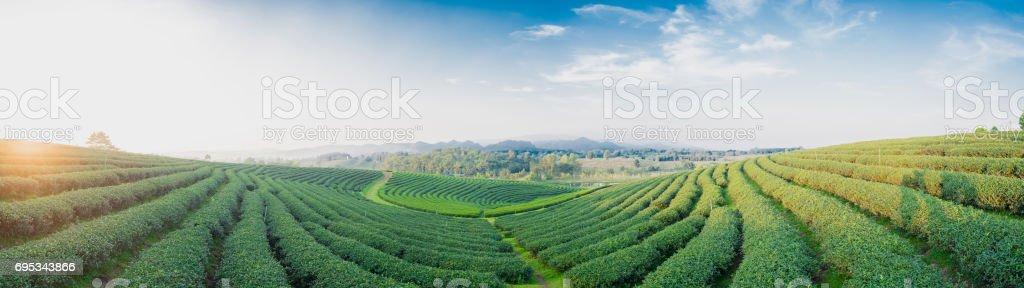 Tea plantation landscape with panorama stock photo