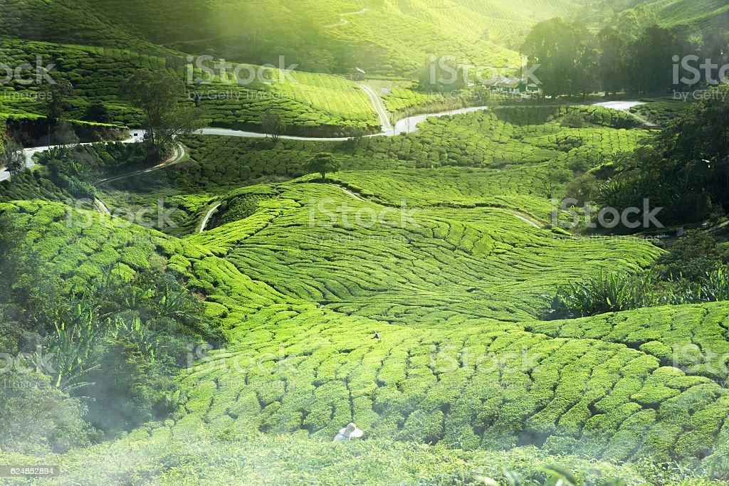 tea plantation mist stock photo