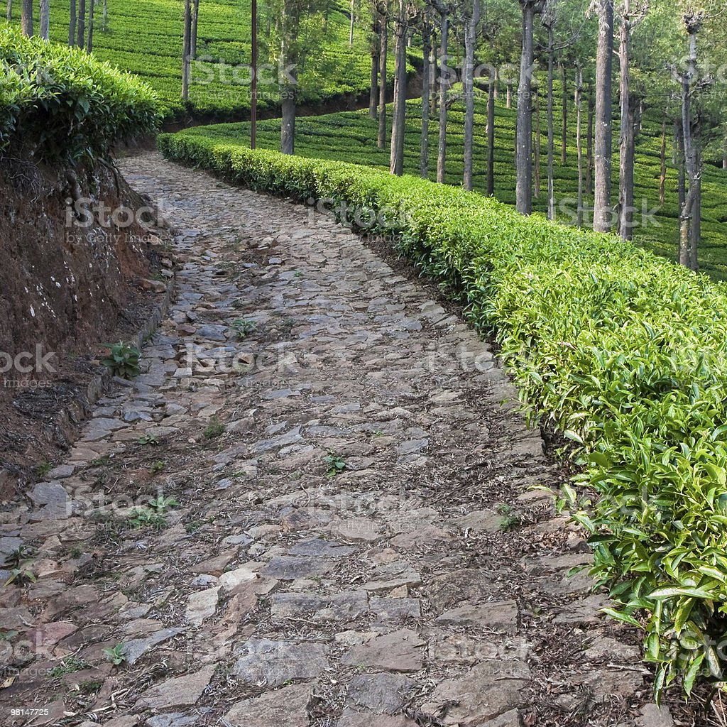Tea Plantation near Coonoor royalty-free stock photo
