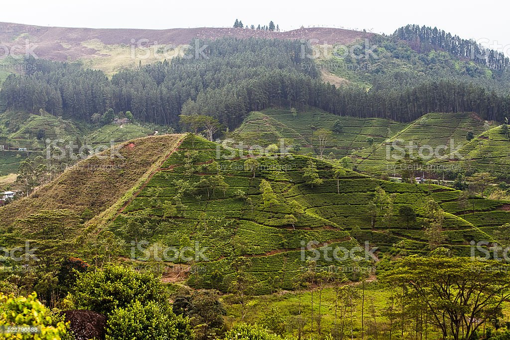Tea plantation on the hillside stock photo