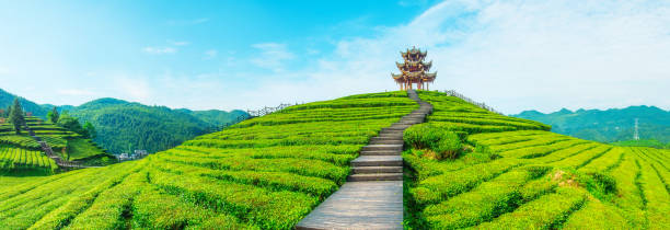 Teeplantage – Foto