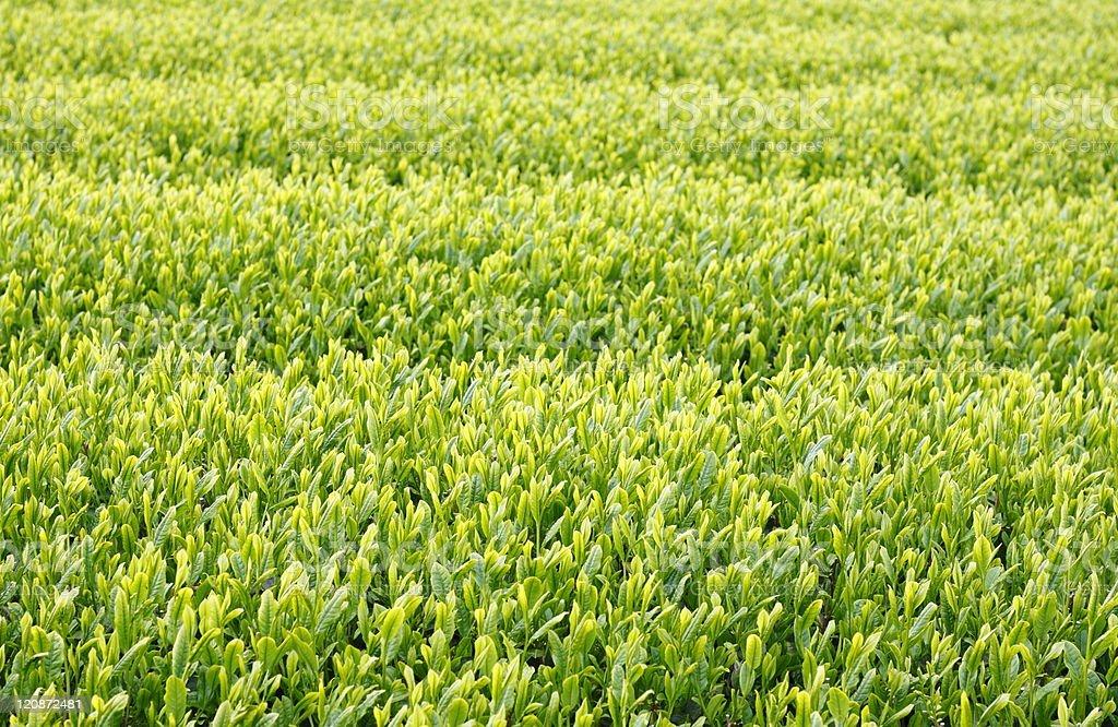 Tea plantation. royalty-free stock photo