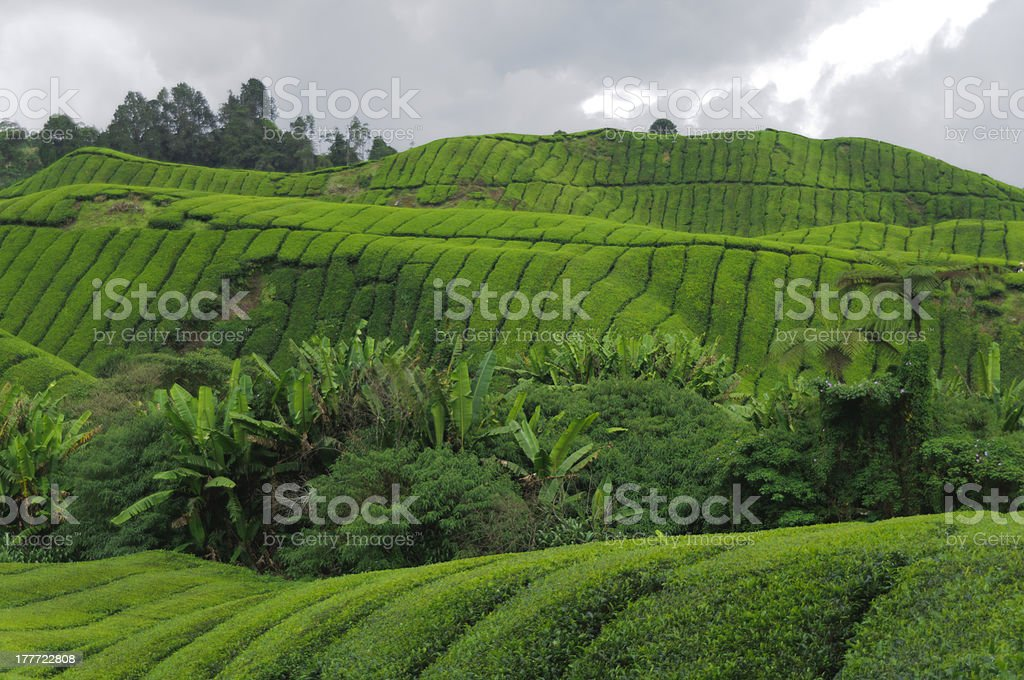Tea plantation royalty-free stock photo