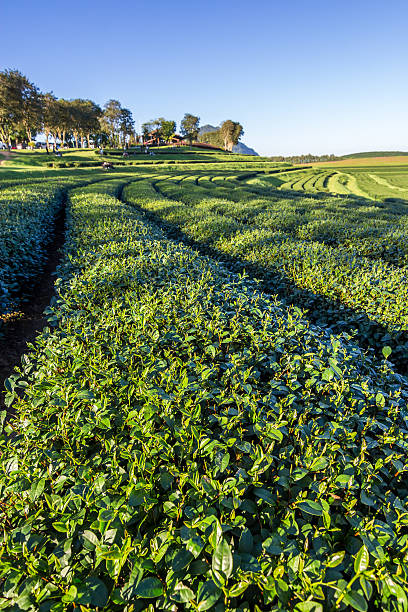plantage  - darjeeling tee stock-fotos und bilder