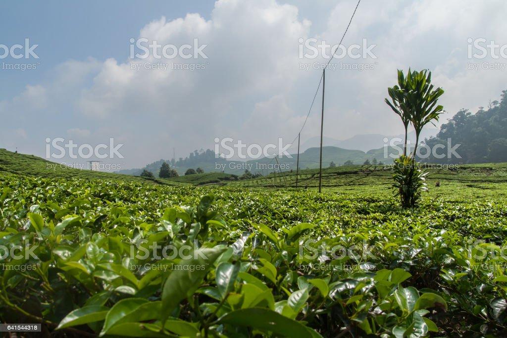 Tea Plantation foto