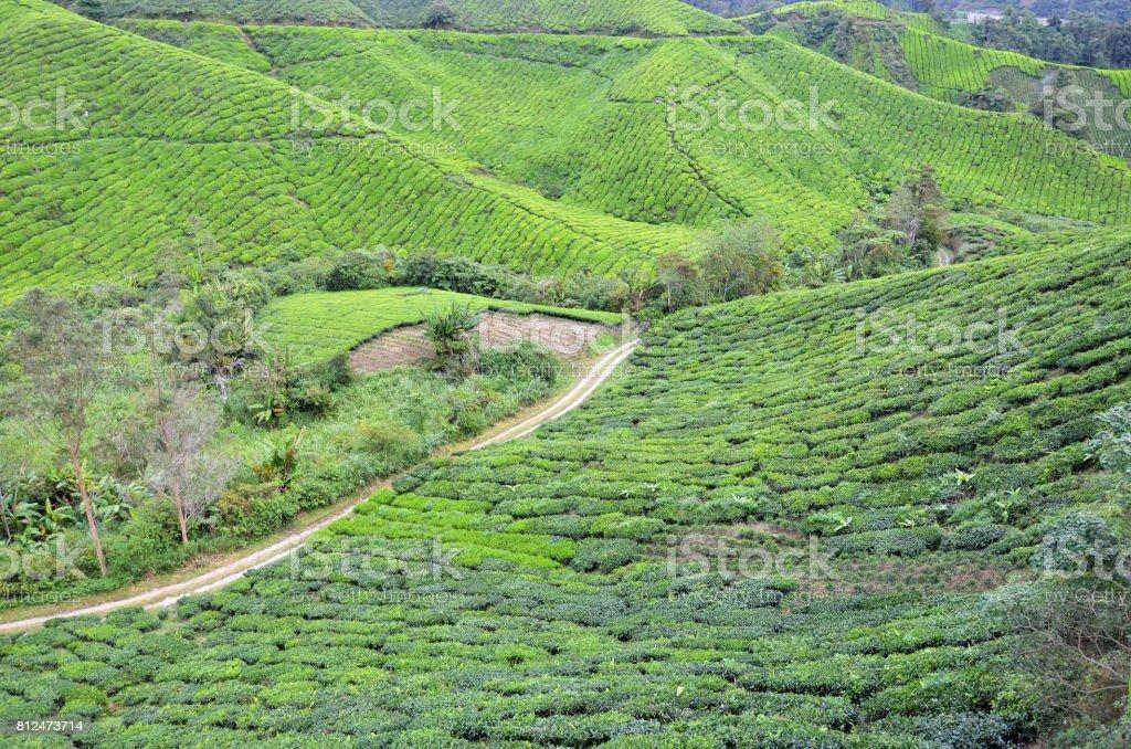 Tea Plantation stock photo