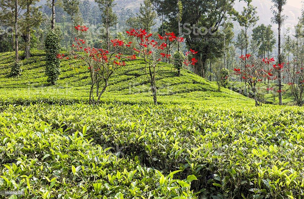 Tea plantation, poinsettia and pepper vines, Munnar, Kerala, India royalty-free stock photo