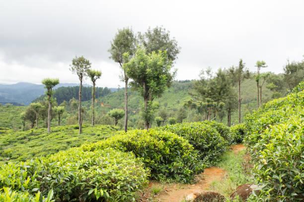 Teeplantage Landschaft – Foto