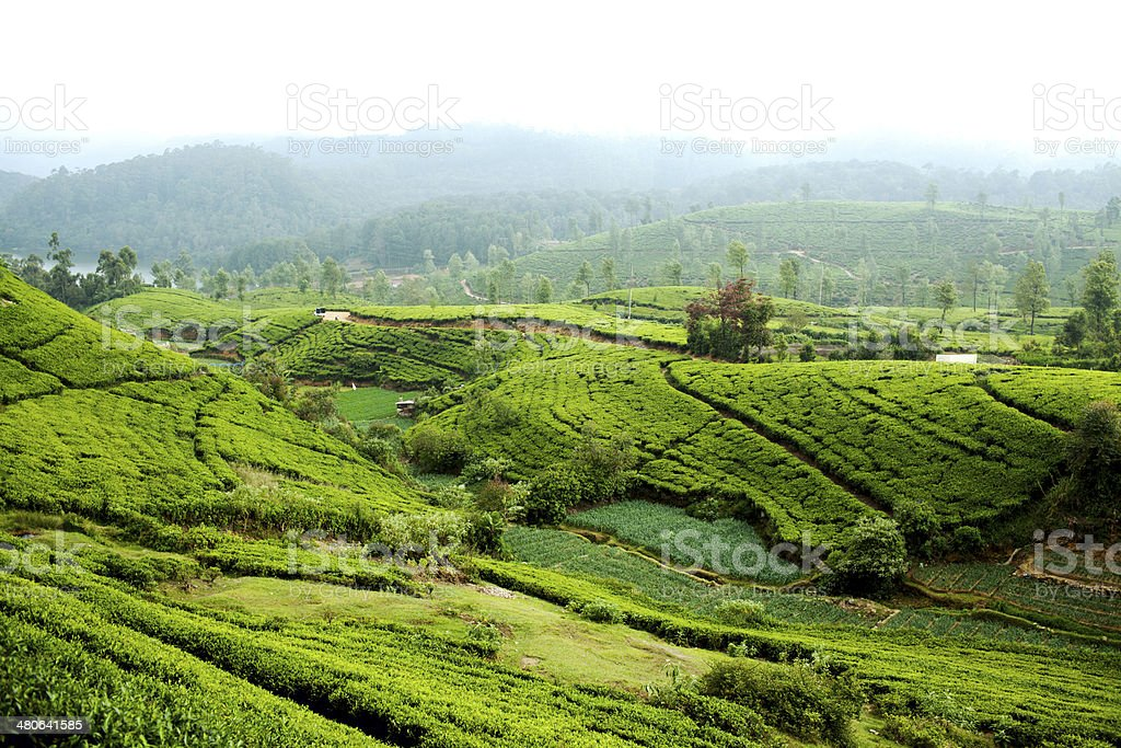Tea Plantation, Sri Lanka stock photo